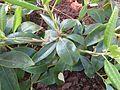Rhododendron carolinianum 01.JPG