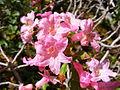 Rhododendron hirsutum DSCF4249.JPG