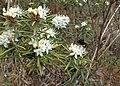 Rhododendron tomentosum kz20.jpg
