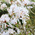 Rhododendron yunnanense-IMG 6703.JPG