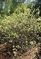 Rhus aromatica kz7.JPG