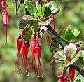 Ribes speciosum 2.jpg