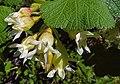 Ribes viscosissimum.jpg