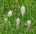 Ribwort Plantain. Plantago media (35775347126).jpg