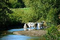 Rinder in der Berkelaue zwischen Coesfeld und Gescher.jpg