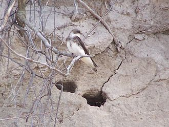 Sand martin - Adult at nest site, Dziwnówek, Poland