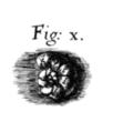 Robert Hooke foraminifera.png