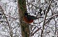 Robin-Bird-Snow-Perched ForestWander.jpg