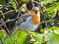 Robin Singing (19001345083).jpg