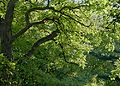 Robinia pseudoacacia J2.JPG