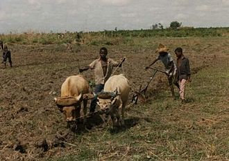 Child labour in Africa - Agriculture is a major employer of child labour in Africa. Ploughing (above), fertilizer, pesticide application and harvesting routinely involve children with their families.