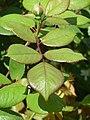 Rosa 'Brother Cadfael' (Rosaceae) leaves.JPG