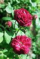 Rosa 'Cardinal de Richelieu'.jpg