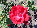 Rosa 'Champlain'.jpg