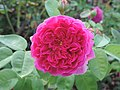 Rosa 'Lady of Megginch' 03.jpg