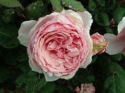 Rosa Brother Cadfael 2019-06-07 1277.jpg