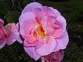 Rosa Pink Robusta 2017-09-29 6112.jpg