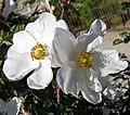 Rosa majalis inflorescence (08).jpg