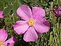 Rosa woodsii (5065884785).jpg