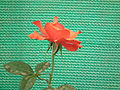 Rose from lalbagh year 2012 - 1656.JPG
