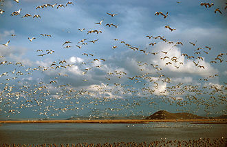 Lower Klamath National Wildlife Refuge - Image: Ross Geese Oregon