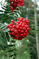 Rowan Berries - geograph.org.uk - 944373.jpg