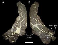 Rubeosaurus nasals.jpg
