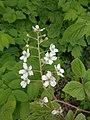 Rubus allegheniensis 2017-05-23 1493.jpg
