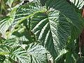 Rubus idaeus leaf.JPG