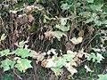 Rubus odoratus 5zz.jpg