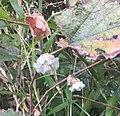 Rubus sieboldii's flower.jpg
