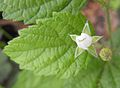 Rubusleucodermis.jpg