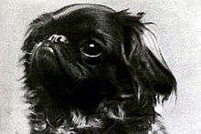 A black and white photographic headshot of a small spaniel with a stubby nose and mostly dark markings.