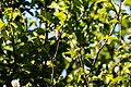 Ruby-throated hummingbird (48666698628).jpg