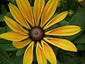 Rudbeckia from Lalbagh flower show Aug 2013 8276.JPG