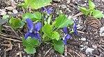 Ruhland, Grenzstr. 3, Duftveilchen im Garten, blau blühend, Frühling, 06.jpg