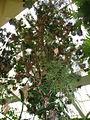 Ruizia cordata2.jpg