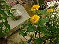 Słoneczniczek szorstki. (Heliopsis helianthoides) 02.jpg