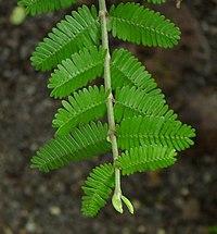 SDC11442 - Porlieria microphylla