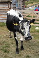 STN Cow.jpg