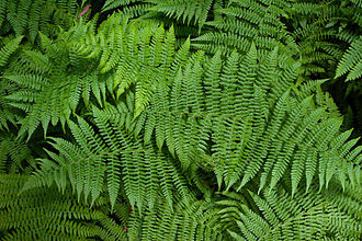 Shades of green - Ferns at Muir Woods, California