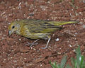 Saffron Finch (Sicalis flaveola).jpg