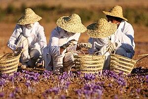 Saffron - Saffron harvesting, Torbat-e Heydarieh, Iran
