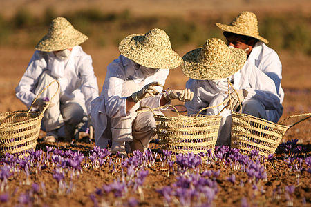 Harvest of saffron at a farm in Iran.