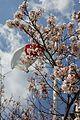 Sakura (6969731570).jpg