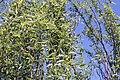 Salix matsudana Tortuosa 9zz.jpg