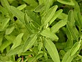 Salvia clevelandii 'Allen Chickering' Leaves 3264px.jpg