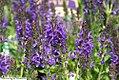 Salvia nemorosa Marcus 1zz.jpg
