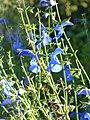 Salvia patens (Scott Zona) 001.jpg