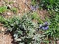Salvia verbenaca Habitus 2010-3-29 DehesaBoyalPuertollano.jpg